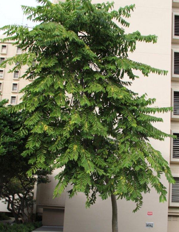 Specimen Ylang Ylang - Cananga Ordorata