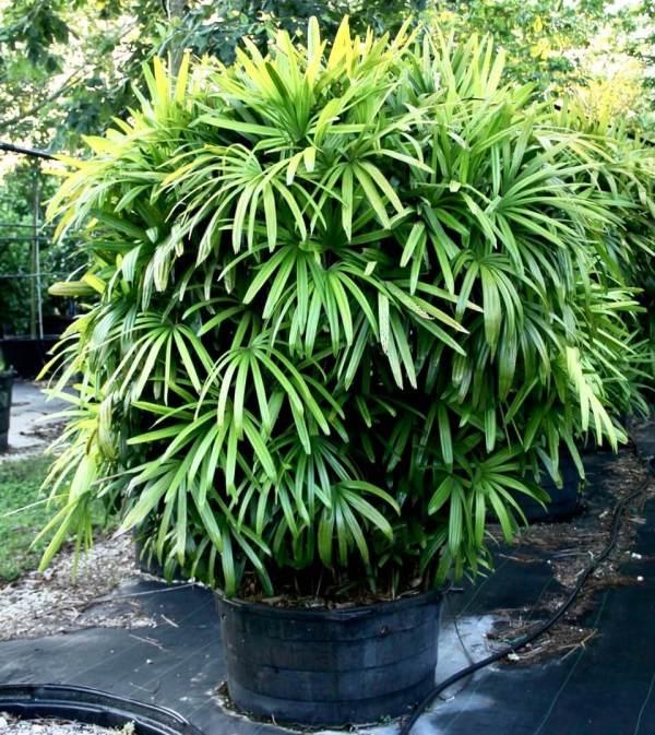 100Gal - Rhapis excelsa (Lady Palm)