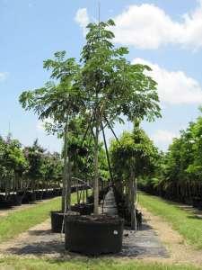 uses of trees Samanea saman (syn. Albizia saman)