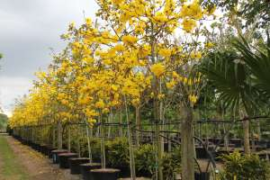 Year Long Trees Tabebuia Chrysotricha