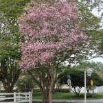 Tabebuia heterophylla (Pink Trumpet-Tree)