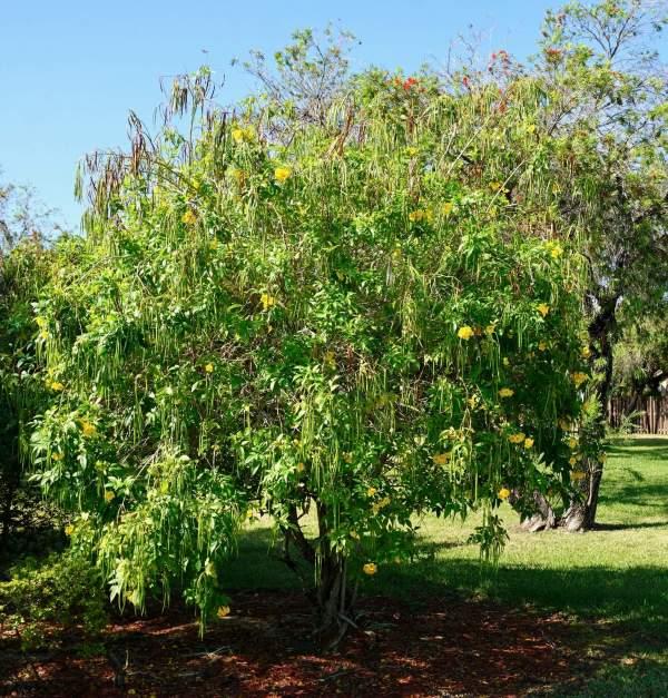 Tecoma stans (Yellow elder)