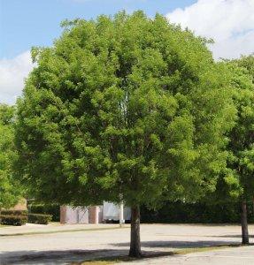 Mahogany trees Swietenia mahagoni (West-Indies Mahogany) specimen