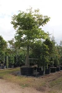 sun and shade trees 200galceibapentandra-kapok at TreeWorld Wholesale