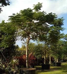 trees are important 300 gal royal poinciana