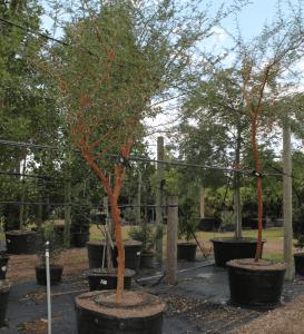 Acacia Trees 50 gallons Acacia Seyal known as Red Acacia at TreeWorld Wholesale