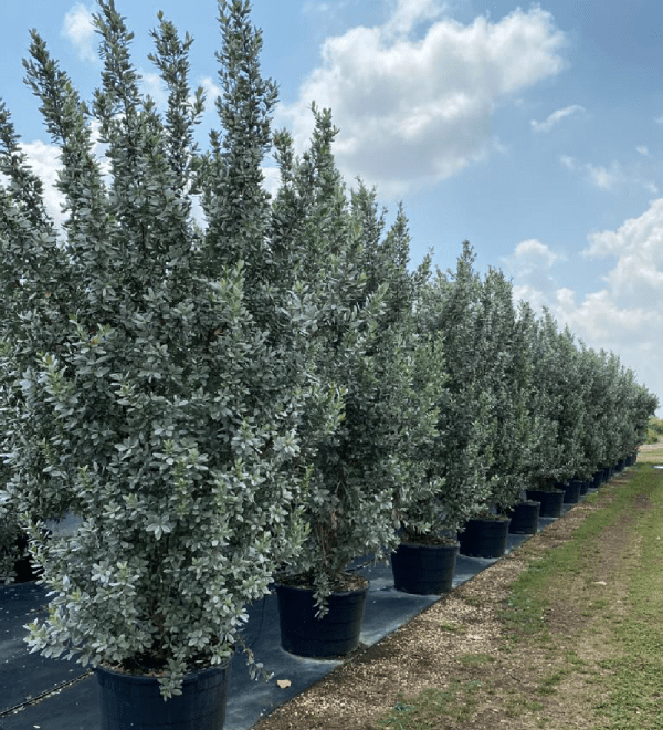 50 gallons bush row silver buttonwood at TreeWorld Wholesale