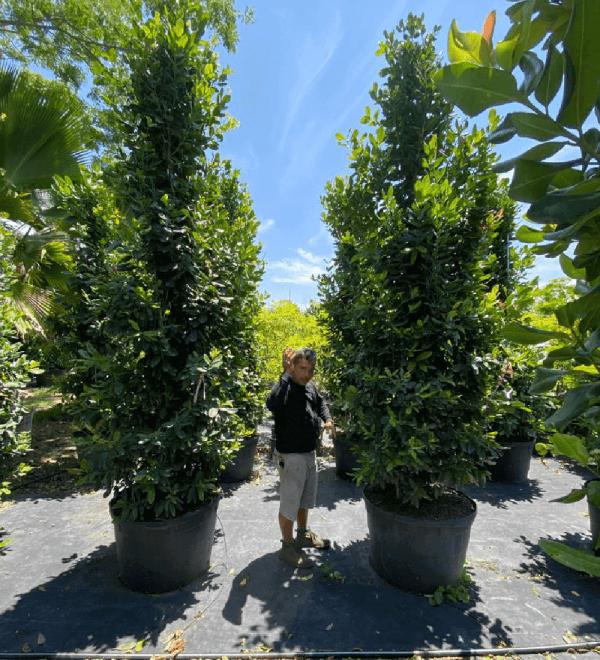 trees are oxygen pimenta racemosa (bayrum tree)