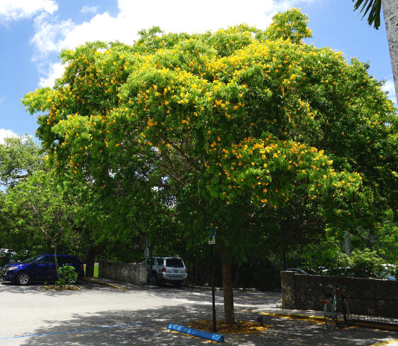 Street Trees -The Key Issues Facing Street Tree Cultivation