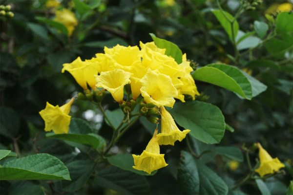 cordia lutea or yellow geiger flower