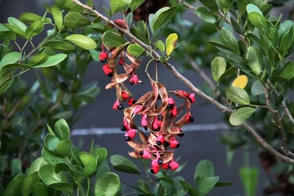 Seeds -pithecellobium keyense at TreeWorld Wholesale