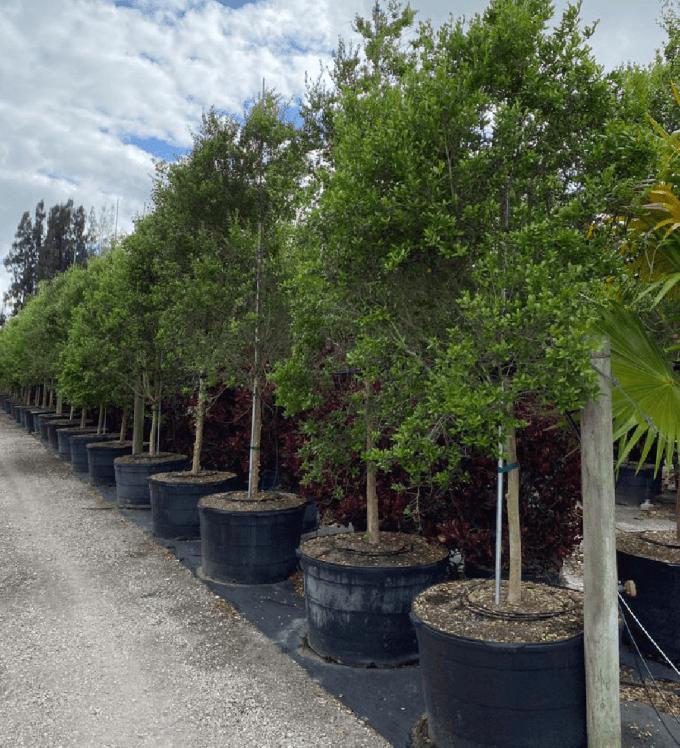 drought tolerant trees Myrcianthes Fragrans (Simpsons Stopper, Standard)