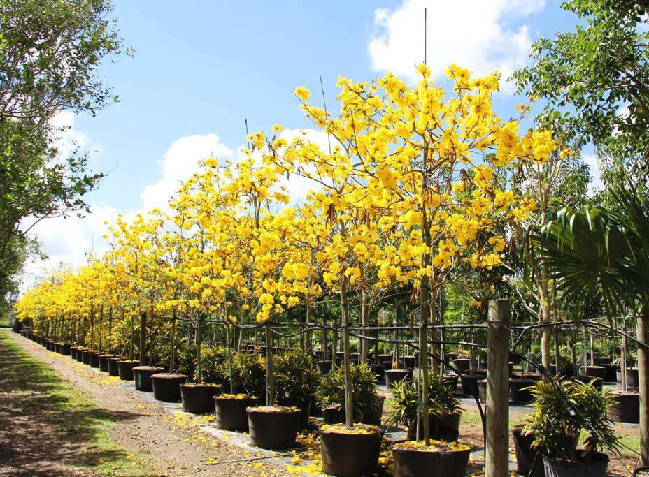 tTabebuia chrysotricha (golden trumpet)