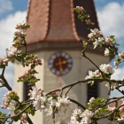 Apfelblüte in Ansbach