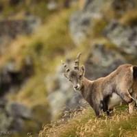 Esperienza foto-naturalistica | Primavera nel Parco Nazionale del Gran Paradiso