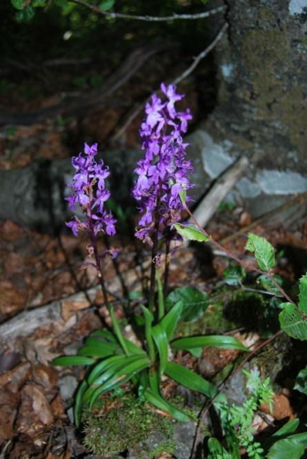 Orchis mascula del monte Pelpi