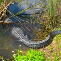 10 - 12 foot Alligator