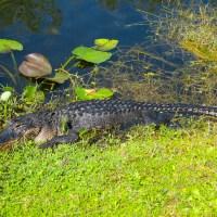 Watchful Alligator