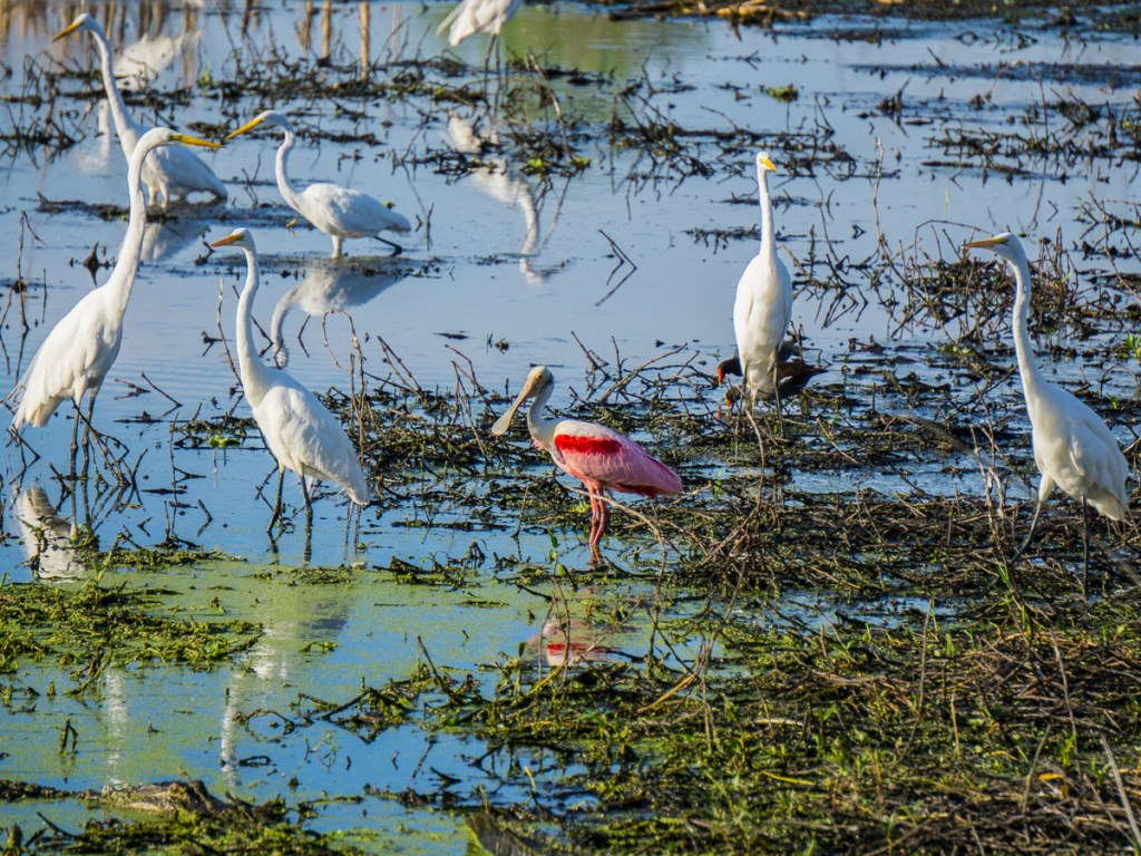 Spoonbill in a group
