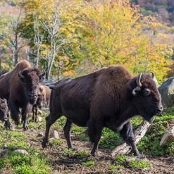 Zipline Bisons - Mont Tremblant