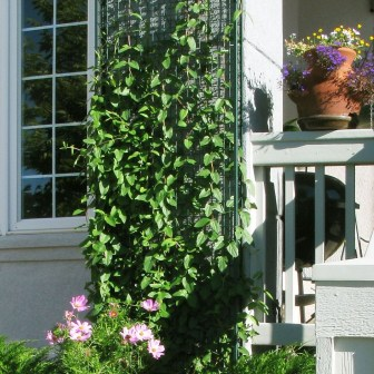 Beautiful Facades With Vines And Climbers 46