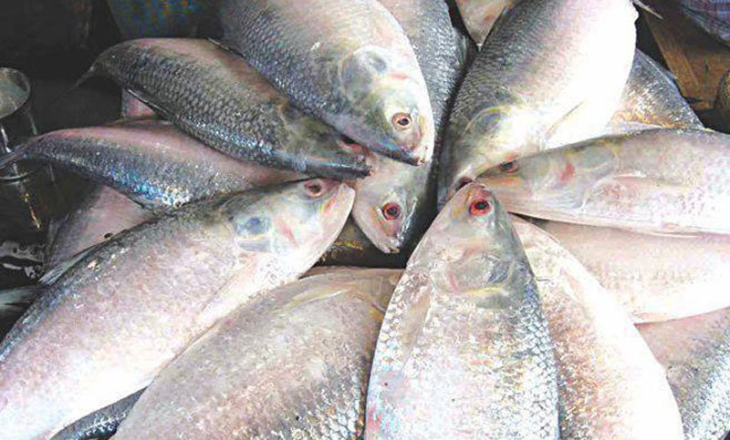 bangladesh will send 500mt hilsa fish on durga puja as goodwill gesture