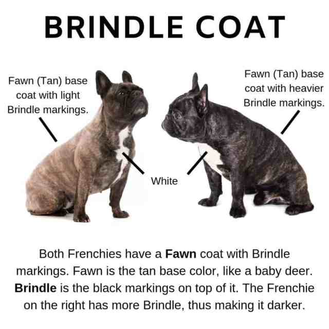 what colors do french bulldogs come in? (plus image guide)