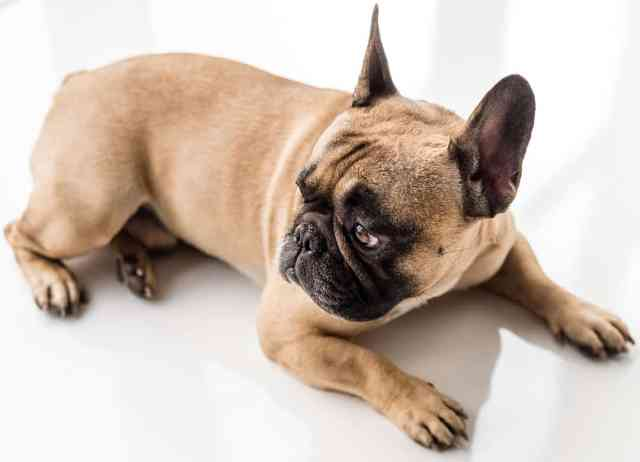 how much do french bulldog puppies cost? (and finding them)