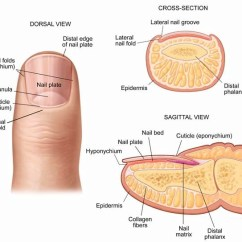 Anatomy And Physiology Diagrams To Label Nest Wiring Diagram 2 Wire 15 Interesting Facts About Nails You Never Knew - Trends Health