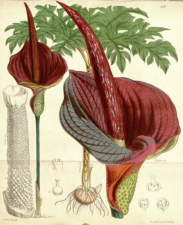 Amorphophallus-konjac-botanical-drawing