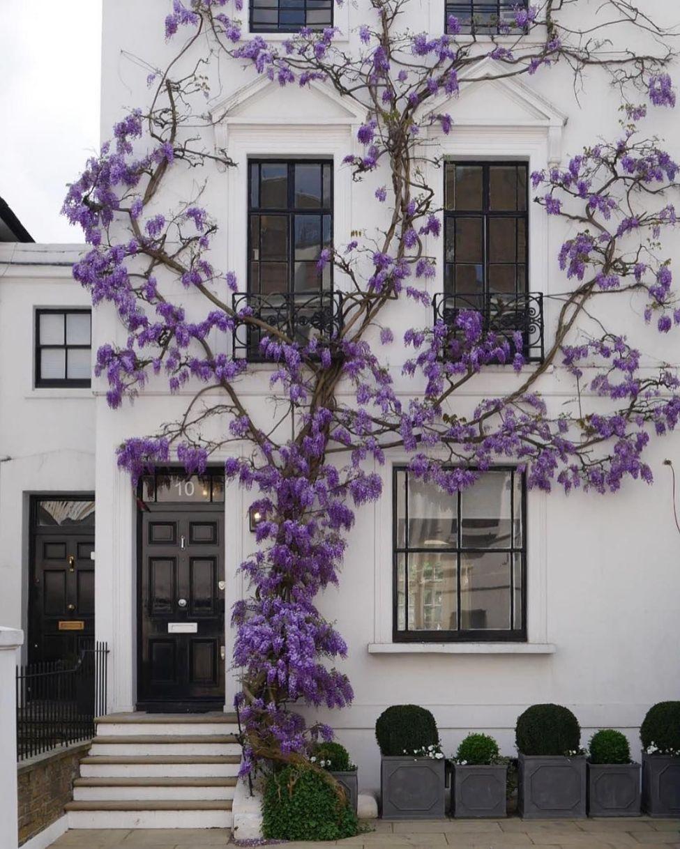 Glycines & maison londonienne