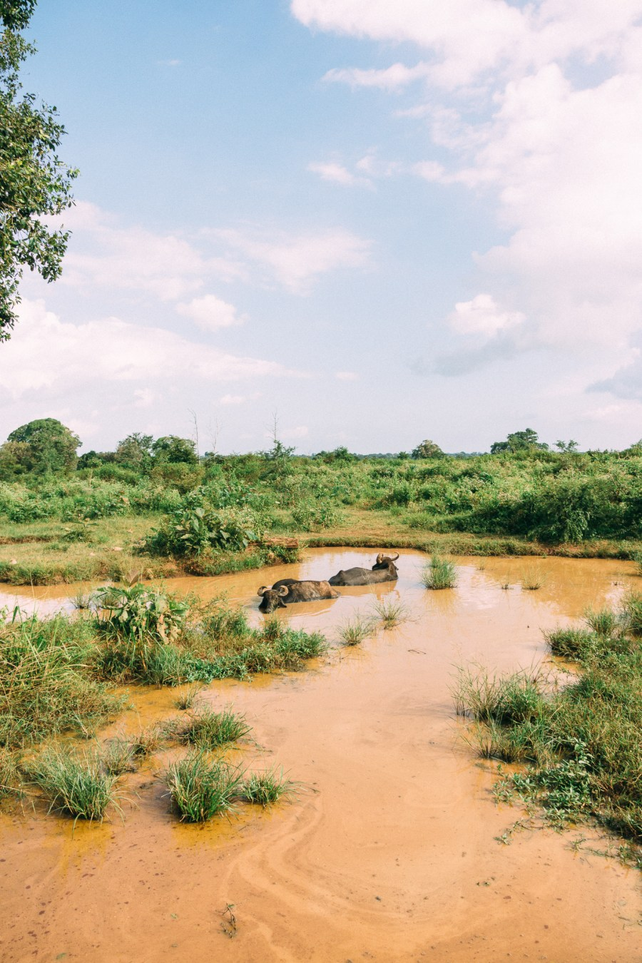 sri-lanka-udawalawe-buffles