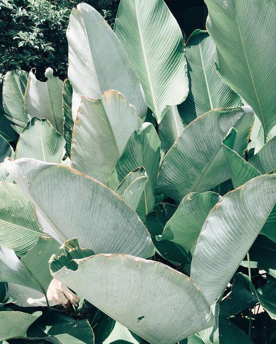 Grosses feuilles de palmier