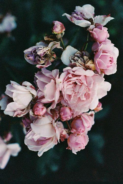 Roses abîmées