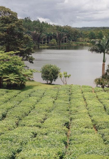 Plantation de thé - Bois Chéri