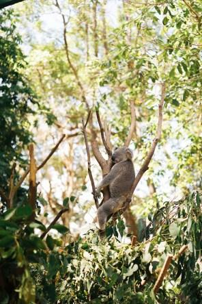 Koala - Wildlife protection - Australie