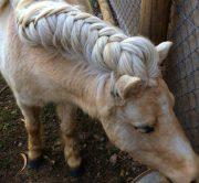 horse owners braid manes