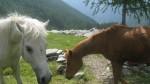 Cavalli al pascolo.