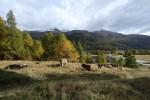 Ultimi giorni con le mucche in quota.