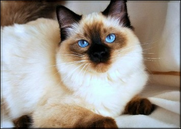 Balinese Cat HistoryBalinese Breed OriginInformation