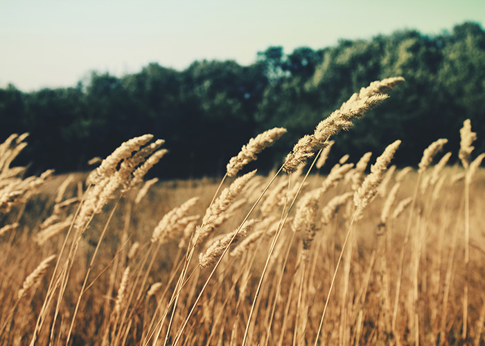 barley blowing in the wind to demonstrate the air quality of vata in ayurveda