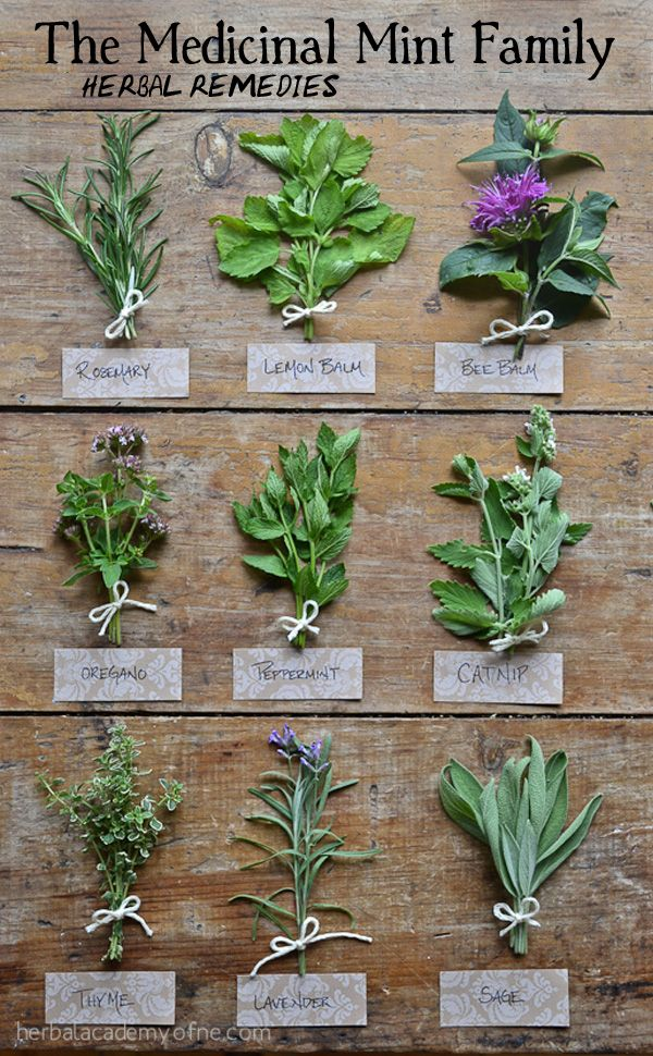 Medicinal Mint Plants for Herbal Remedies
