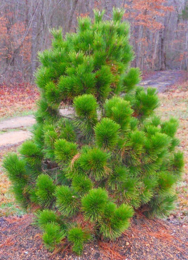 Thunderhead black pineweb  Triangle Gardener Magazine