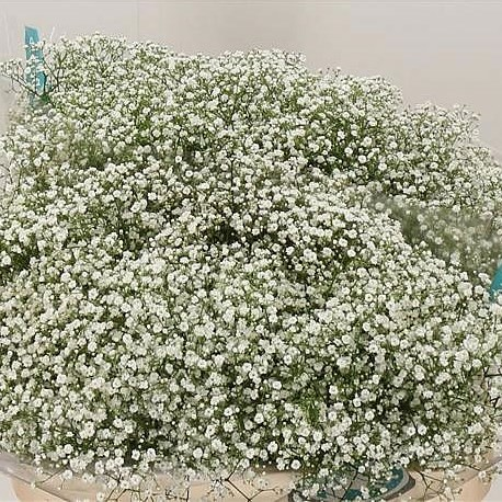 Gypsophila A1 Bridal Cheer (Medium Headed)