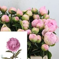 PEONY DINNER PLATE 60cm   Wholesale Dutch Flowers ...