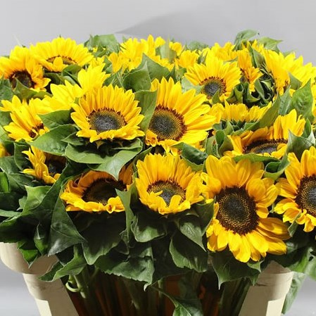 SUNFLOWERS PREMIER ORANGE