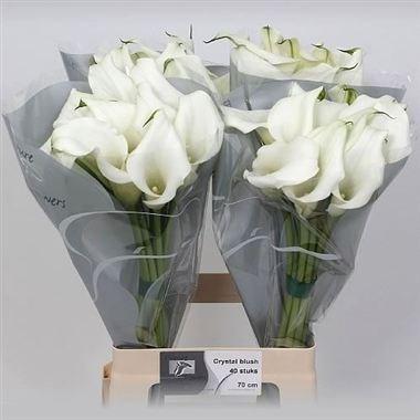 Calla Lily Crystal Blush 50cm Wholesale Dutch Flowers
