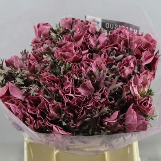 ANEMONE COLOURED POWDER LIE DE VIE