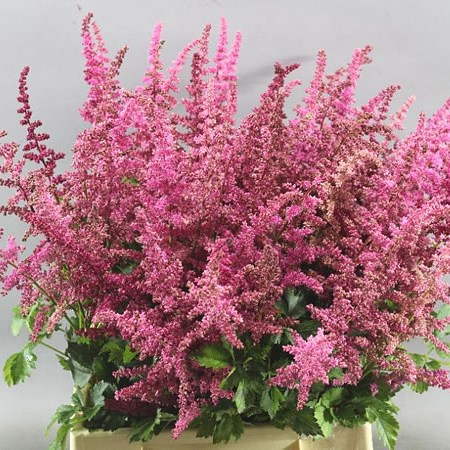 ASTILBE LOUD AND PROUD