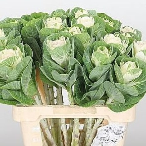 BRASSICA EMPIRE ANNA